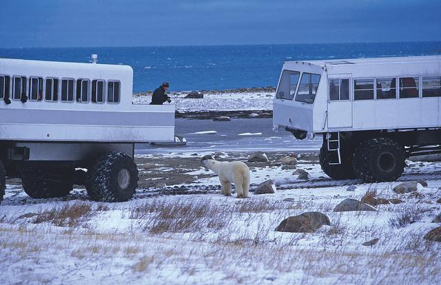 Getting close to polar bears in Churchill, Manitoba
