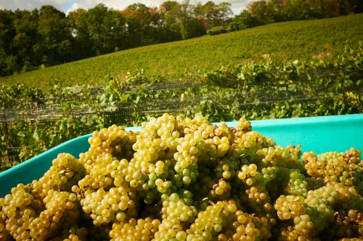 Grapes and vineyards at Vineland Estates Winery