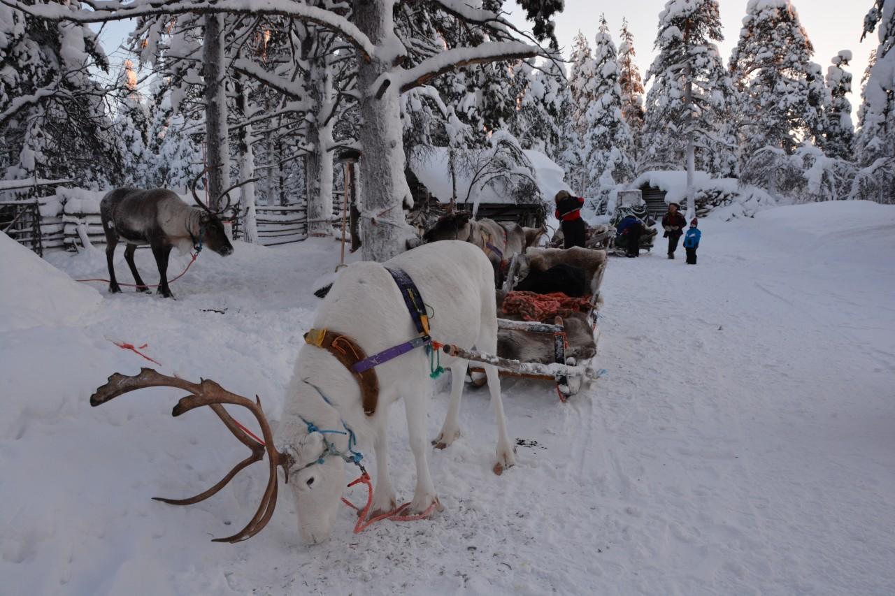 Reindeer safari Finland