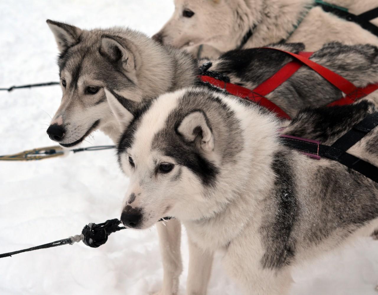 Huskiy safari Finland Arctic