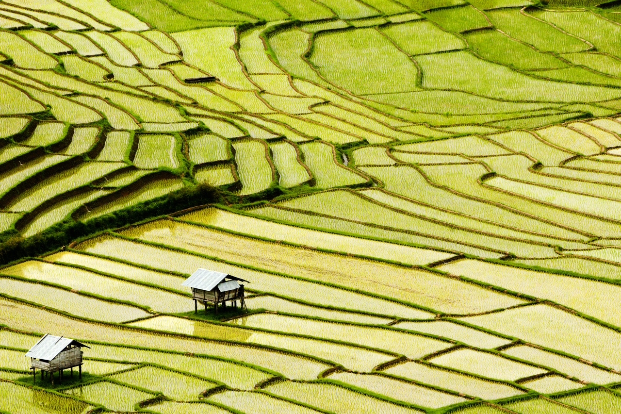 Rice fields in Northern Thailand during the monsoon season.