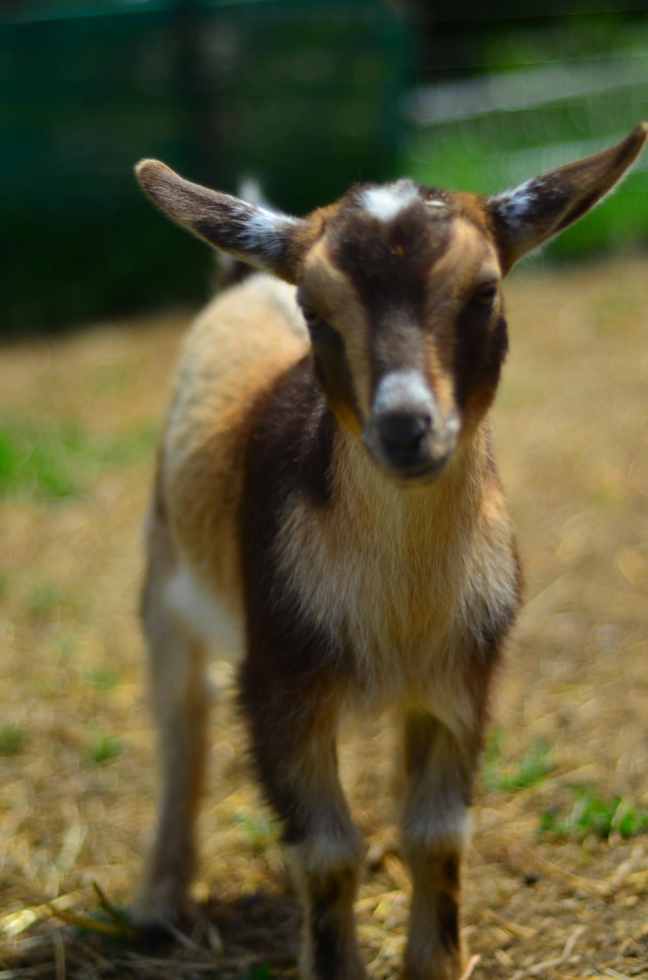 Haute Goat Swayze