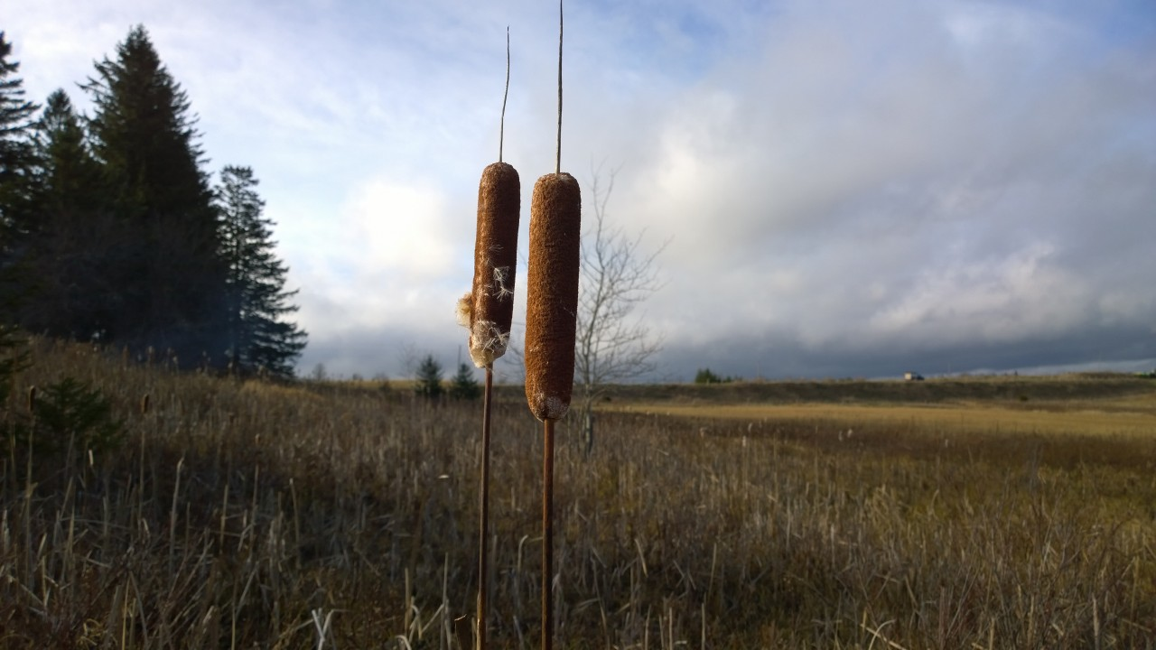 Foraging for cattail