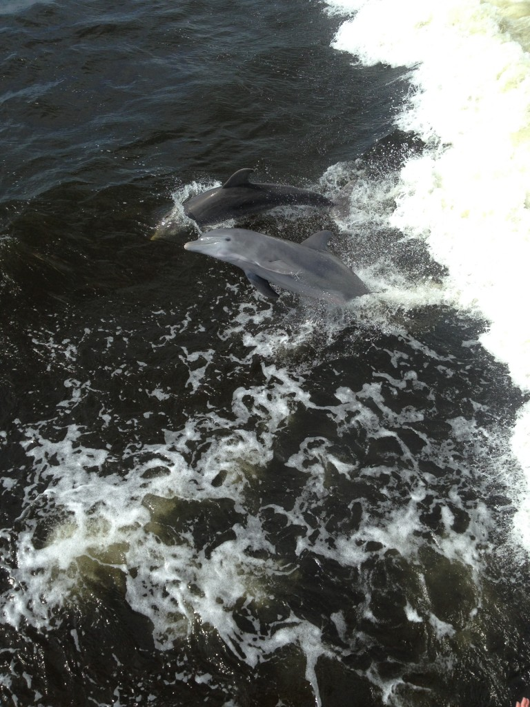 Dolphin Sighting with Captiva Cruises, South West Florida