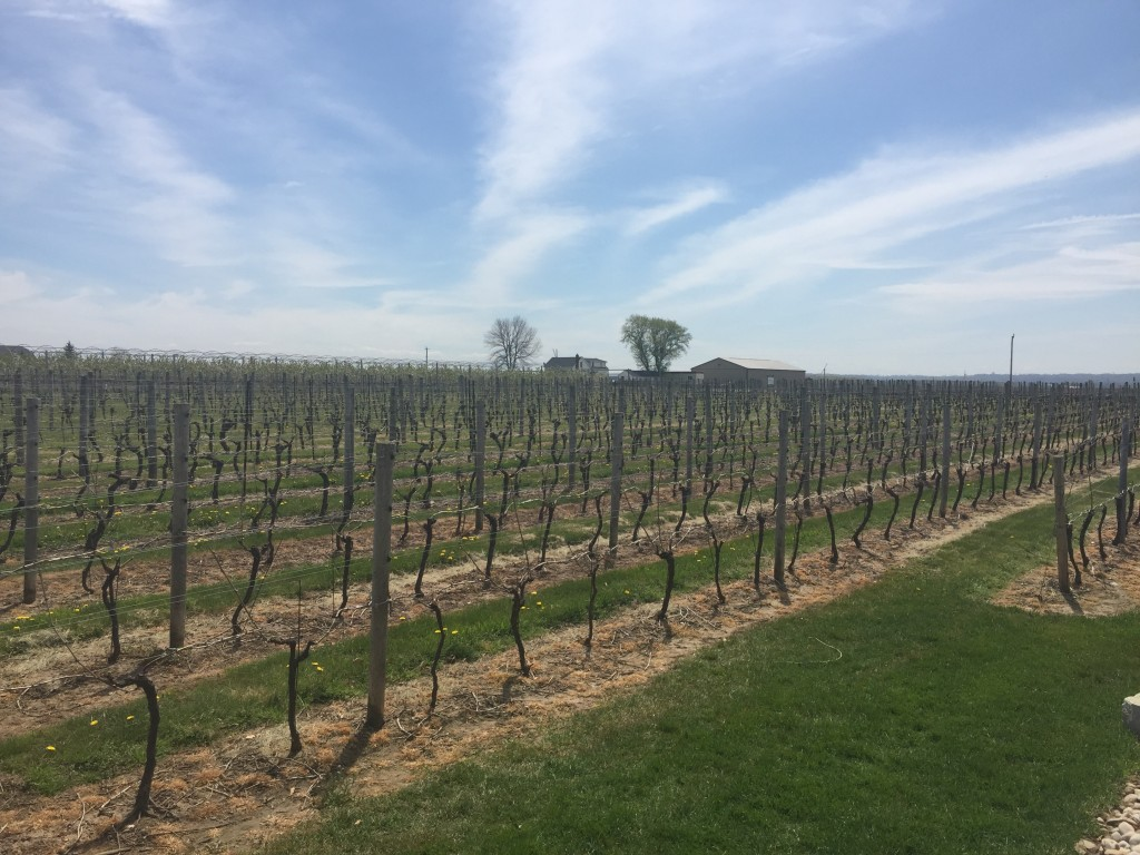 Vineyards of the Niagara Region