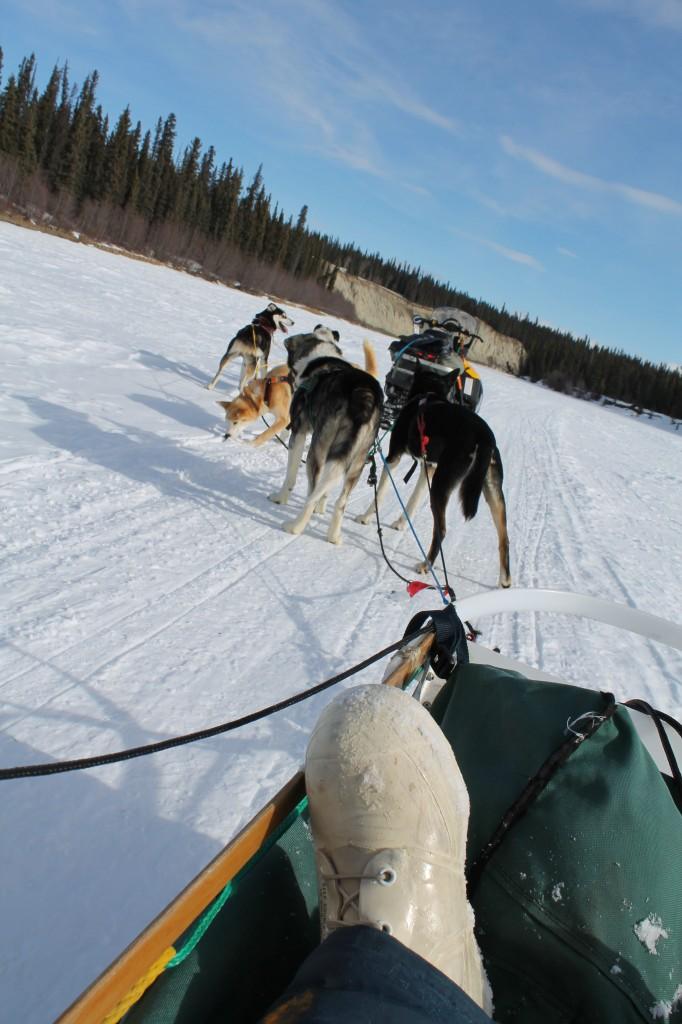 Dog sledding in the Yukon