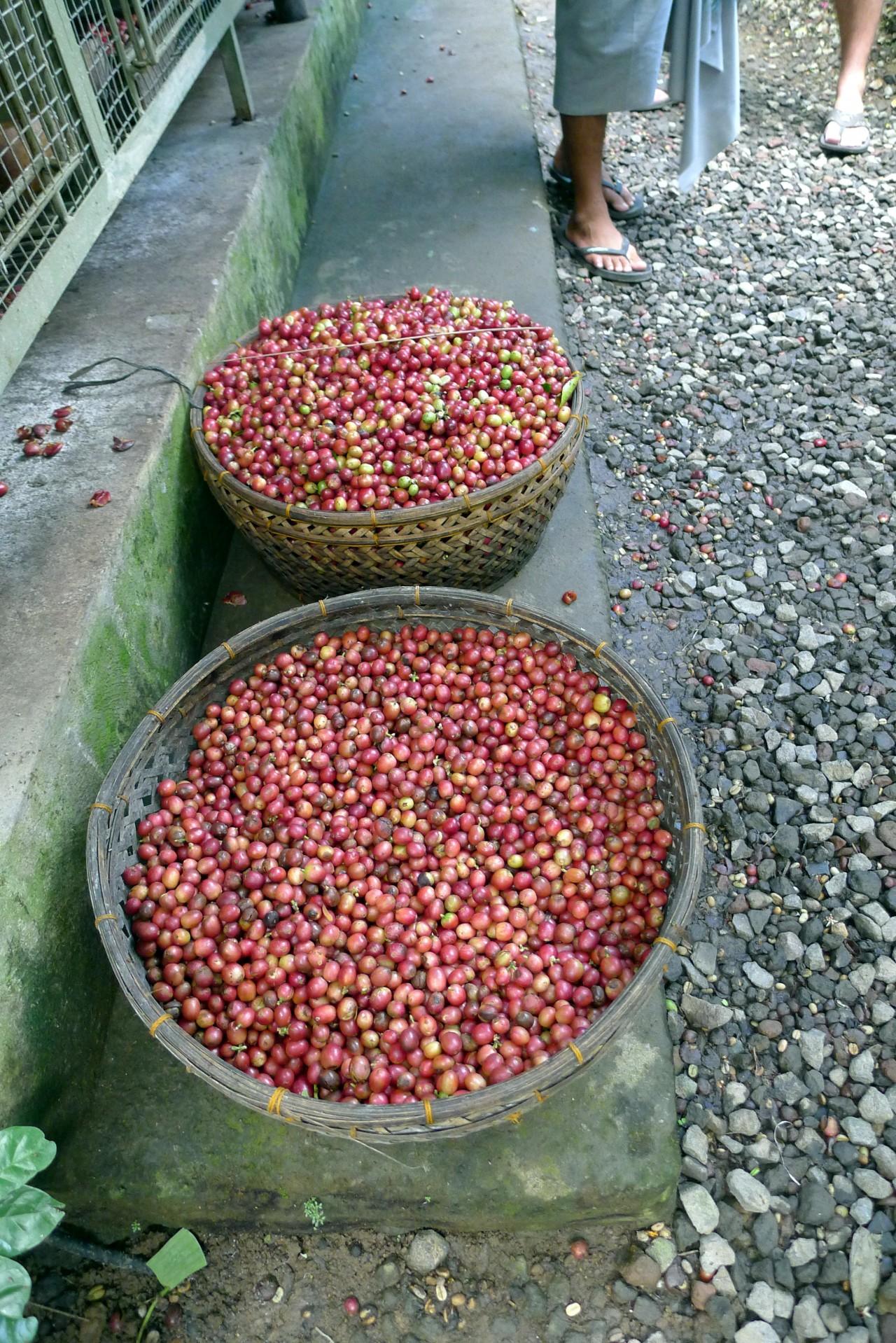 Luwak cat poop coffee